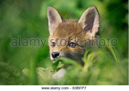 Le renard roux, Vulpes vulpes, met bas dans l'herbe haute, Normandie Banque D'Images