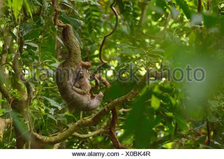 Brown-throated Sloth (Bradypus variegatus) avec les jeunes, s'accrochant à une liane dans la jungle, province de Puntarenas, Costa Rica Banque D'Images