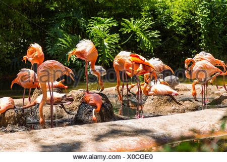 Volée de flamants roses dans un zoo, le Zoo de Barcelone, Barcelone, Catalogne, Espagne