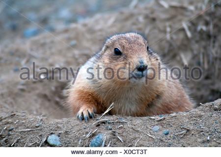 Chien de prairie, Cynomys ludovicianus, le chien de prairie, étang, portrait, animaux Banque D'Images