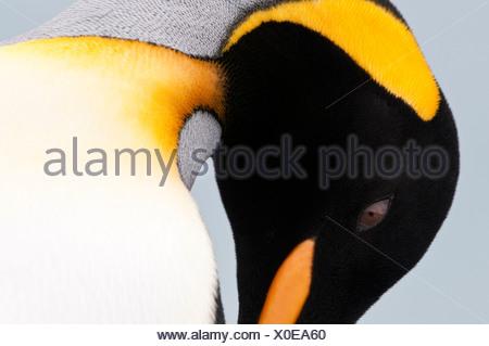 King Penguin au lissage. La plaine de Salisbury, la Géorgie du Sud, l'Atlantique Sud. Banque D'Images