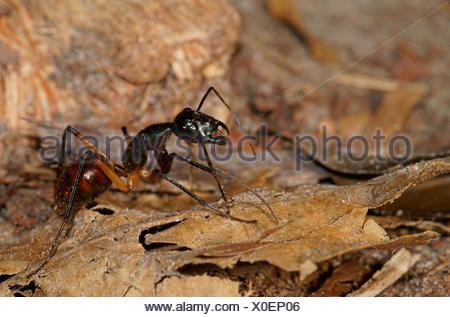 Ant des forêts géantes (Camponotus gigas), Parc national de Tanjung Puting, centre de Kalimantan, Bornéo, Indonésie Banque D'Images