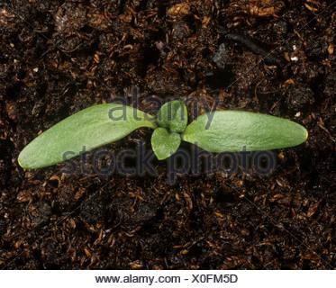Lampourde épineuse (Xanthium spinosum) cotylédons des plantules seulement Banque D'Images