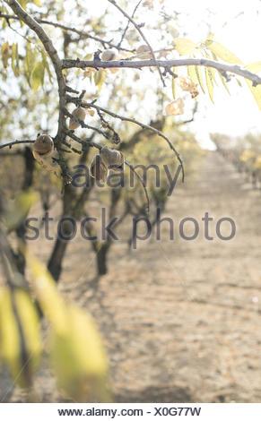 Almond tree branch avec fruits sur le coucher du soleil. Banque D'Images