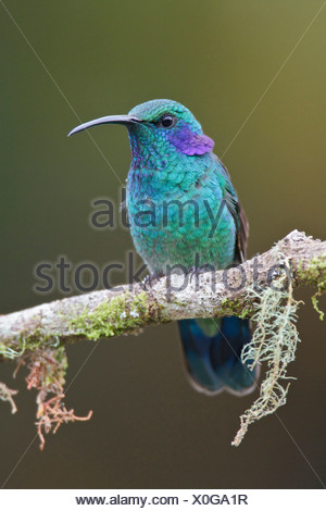 Green Violet-Colibri thalassinus (EAR) perché sur une branche au Costa Rica. Banque D'Images