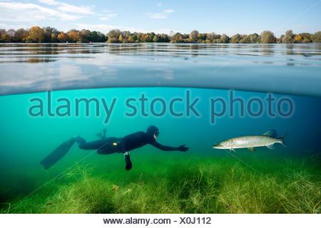Hecht; Hecht im Flachwasser hechtartiger Raubfisch;;;;; Knochenfisch Süsswasserfisch Süsswasser Armleuchteralge Grünalge;;;;; Armleucht Grünalgen Alge Banque D'Images