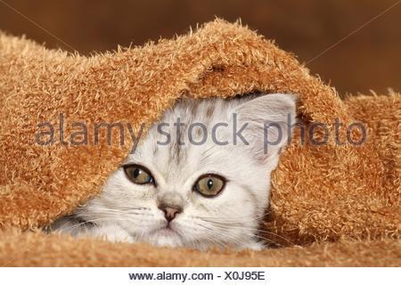 Portrait de chaton Exotic Shorthair