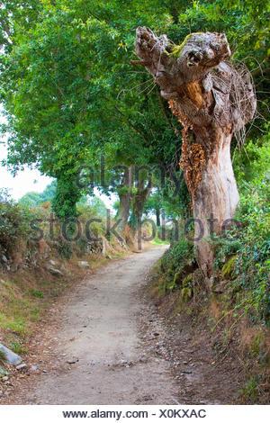 Chemin de Saint-Jacques de Compostelle, hollow-cours avec arbre mort sur le chemin de Lavandeira de Brea, l'Espagne, la Galice, Lugo Banque D'Images