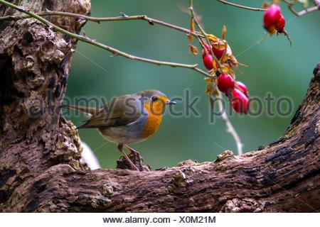 European robin (Erithacus rubecula aux abords), avec d'églantier sur un vieil arbre, Suisse, Sankt Gallen, Rheineck Banque D'Images