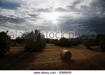Bottes de foin dans le champ, Majorque, Espagne Banque D'Images
