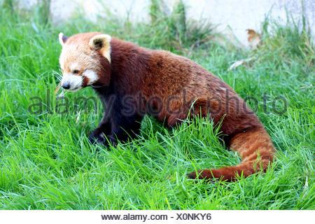 Le panda rouge, Ailurus fulgens Banque D'Images