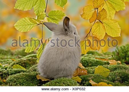 Jeune lapin nain sur mousse