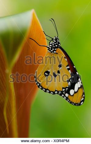 Papillon Monarque Danaus plexippus sur des feuilles de Canna avec les ailes fermées et dessous visible. Banque D'Images