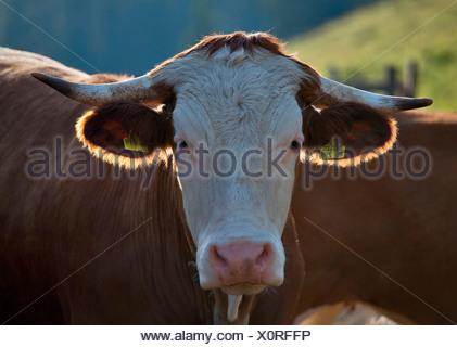 Jeune taureau, Hofbauern-Alm, Chiemgau, Kampenwand, Haute-Bavière, Allemagne