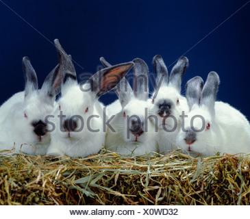 2 LB. Les lapins de la californie