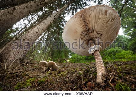Parasol de champignons dans une forêt de pins, Tirol, Alpes autrichiennes.