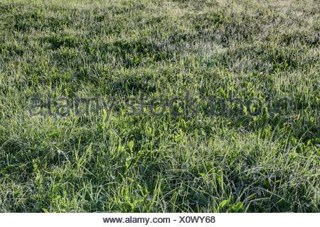 Dans les prairies d'herbe rosée du matin