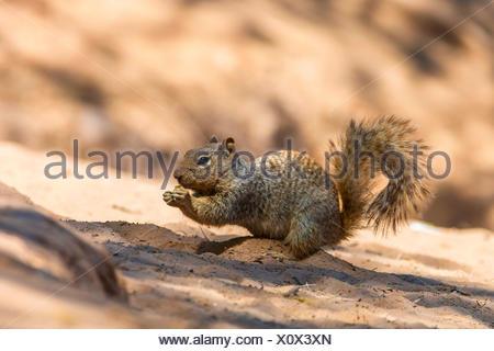 Rock squirrel (Citellus variegatus, Spermophilus variegatus ), assis sur la rive de la rivière de sable, l'alimentation, de l'Arizona, USA, Phoenix Sonora Banque D'Images