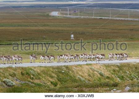 Troupeau de caribous des bois (Rangifer tarandus) le long de la route près de St. Shott's, péninsule d'Avalon, Terre-Neuve, Canada Banque D'Images