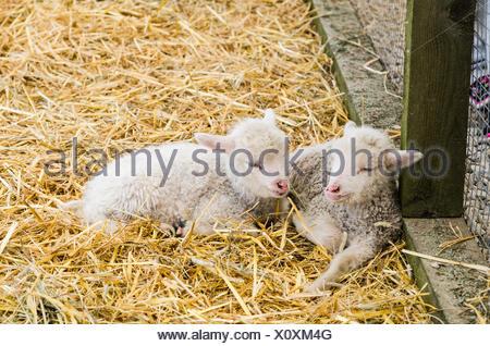 Deux petit agneau dormant dans la paille Banque D'Images