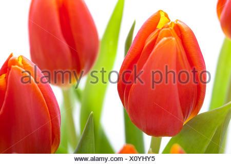 Schöne frische rote Tulpen zu ostern und als Blumenstrauß isoliert Valentinstag