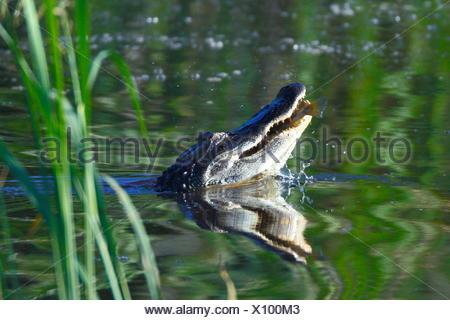 Un Alligator mississippiensis, alligators, à la surface de l'eau. Banque D'Images