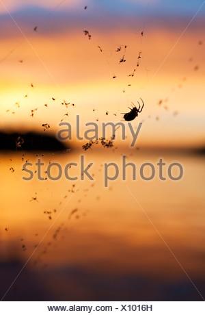 Silhouette d'araignée sur le coucher du soleil contre web Banque D'Images