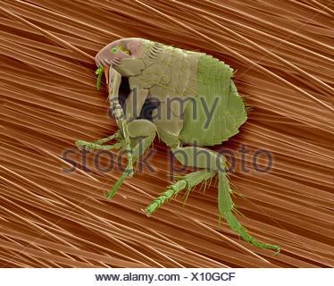 Couleur de l'analyse des électrons Microphotographie (SEM) de la puce de chien (Ctenocephalides canis) sur les poils de chien.Cette brocante vit comme ectoparasite sur grande variété de mammifères, et plus particulièrement d'un chien ou chat.Cela sert aux puces comme hôte intermédiaire de ténia (Dipylidium caninum chien).Bien qu'ils se nourrissent de sang de Banque D'Images