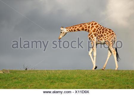Girafe marche face au ciel noir Banque D'Images