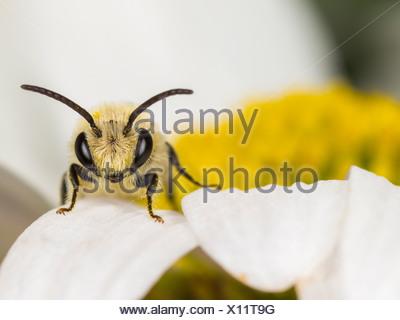 Plâtrier bee (colletes similis) sur oxeye daisy (Leucanthemum vulgare), homme Banque D'Images