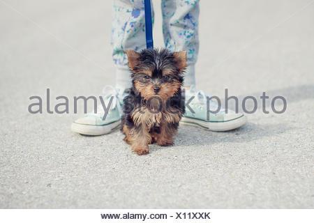 Girl taking puppy chien yorkshire pour une promenade Banque D'Images