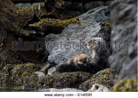 Une loutre de mer avec pup repose sur des rives de l'Alaska. Banque D'Images