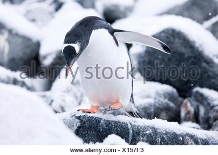 Gentoo pingouin (Pygoscelis papua) entre glace et rocher, Péninsule Antarctique, l'Antarctique Banque D'Images