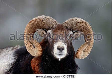 Mouflon européen Banque D'Images