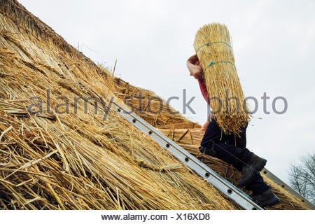 Thatcher portant un yelm de paille d'un toit. Banque D'Images