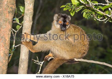 À la façade rouge lémurien Brun (Eulemur rufus), Parc national Parc Mantadia- Andasibe, Madagascar Banque D'Images