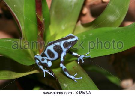 Noir et vert-poison arrow frog, vert et noir poison frog (Dendrobates auratus), black and blue morph du Panama Banque D'Images