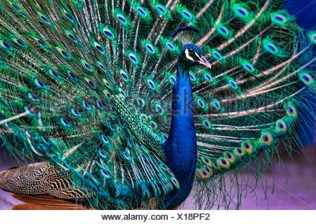 Homme, Peacock, paons indiens, pavo cristatus, oiseau Banque D'Images