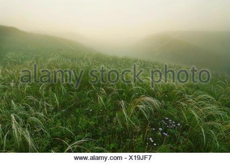 En herbe plumes matin brumeux sur les collines Banque D'Images