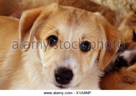 Naissance : half breed chien puppy 10 semaines Banque D'Images