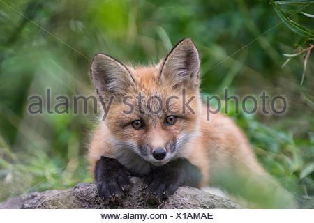 Portrait d'un renard roux, Vulpes vulpes. Banque D'Images