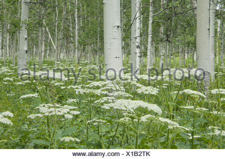 Un bosquet de peupliers frémissant et cow parsley Écorce blanc et blanc en grains de fleurs forêt nationale d'Uinta Banque D'Images