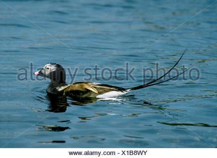 Canard à longue queue - Clangula hyemalis - mâle Banque D'Images