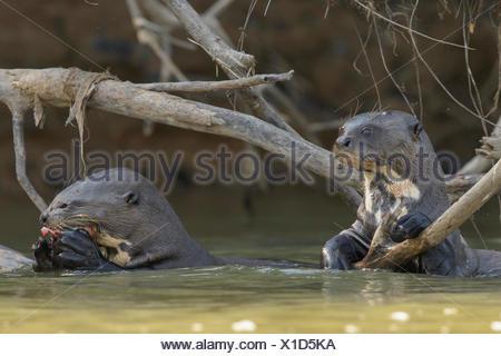 La loutre géante se nourrissant dans un milieu humide dans la région du Pantanal brésilien.