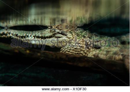 Des crocodiles dans l'eau marécageuse sombre. Banque D'Images