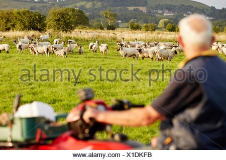 Un troupeau de moutons dans un champ, et un homme sur un quadbike à plus de ses animaux. Banque D'Images