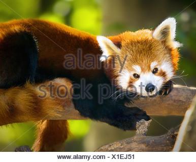 Le panda rouge, mignon, full body shot, reposant sur branche, regardant droit dans la caméra, éclairage puissant. Banque D'Images