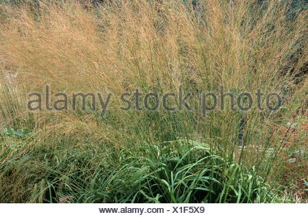 Caerulea molinie Transparent, les plantes, les herbes herbe Banque D'Images
