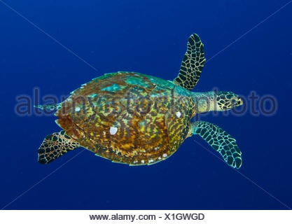 La tortue imbriquée Banque D'Images