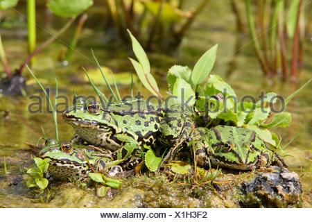 Grenouille comestible européen commun, edible frog (Rana kl. esculenta, Rana esculenta), les grenouilles de la rive de l'étang, l'Allemagne, en Rhénanie du Nord-Westphalie, Rhénanie-Palatinat Banque D'Images